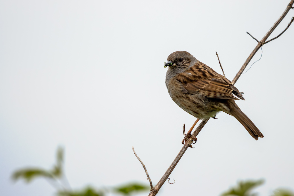 British bird on tree